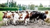 Milk Dairies